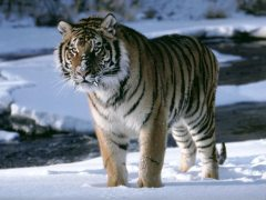 tigre_siberiano