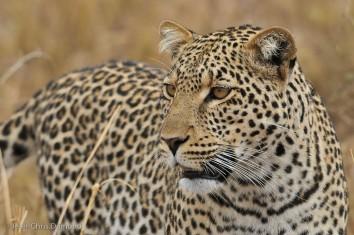 2342l-leopard-panthera-pardus