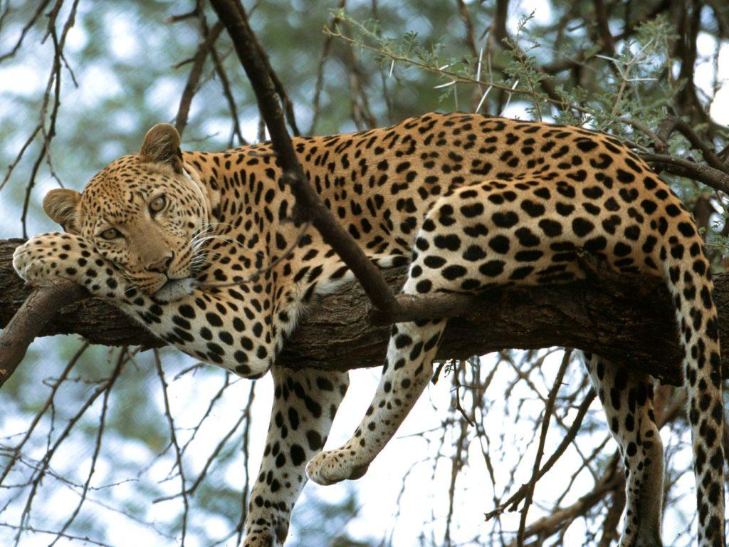 Leopard_-_Panthera_pardus