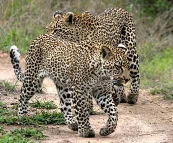 leopard_ep-1804_blog