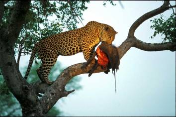 panthera-pardus_comiendo